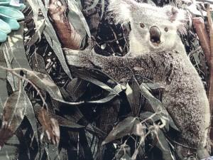 Ковер и изображением коалы